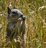 Ground Squirrel with Bad Eye