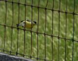 Goldfinch (Lesser)