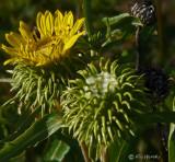 Gumplant (Grindelia stricta)