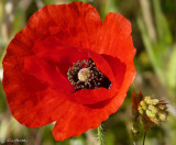 Wind Poppy & foxtail