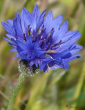 Bachelor's Button / Cornflower Blue (Centaurea cyanus)