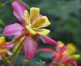 Aquilegia (Columbine) caerulea Swan Pink & Yellow