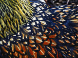 Chicken Feathers (2  Images) (Birds in the Barn 2)
