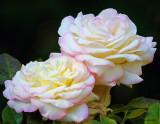 Pair of Pale Roses