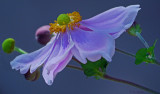 Elegance of  the Japanese Anemone