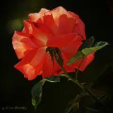Rose Orange backlit