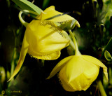 Mt. Diablo Globe Tulip