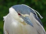 Heron, Black-crowned night-heron