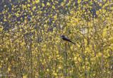In a Field of Yellow - Western Kingbird