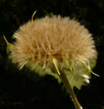 Unidentified tan Dandilion type