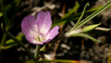 Unidentified lavender