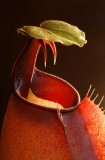 Nepenthes bicalcarata 1