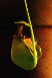 Nepenthes bicalcarata 2.jpg