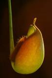 Nepenthes bicalcarata 3.jpg