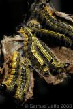 Clostera inclusa (Poplar Tentmaker)