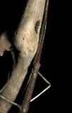 Diapheromera femorata (Northern Walkingstick)