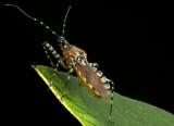 Pselliopus cinctus (Assasin Bug)