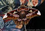 Rothschildia orizaba orizaba Couch Camo
