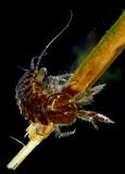 Aquatic Isopod - Asellus