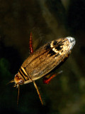 Acilius Diving Beetle