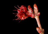 Red Maple Flower