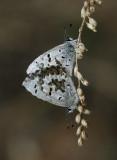 Celastrina ladon lucia - Spring Azure