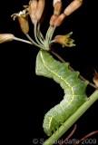 Amphipyra pyramidoides - Copper Underwing
