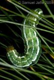 Xestia badicollis (White Pine Dart)