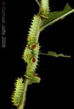 Antheraea polyphemus - Polyphemus Silk Moth