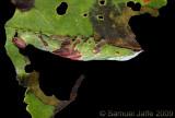 Heterocampa biundata - Wavy-lined Prominent