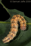 Acronicta species - Oak Dagger