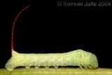 Eumorpha achemon - Achemon Sphinx