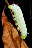 Callosamia promethea - Promethea Silk Moth