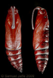 Manduca sexta - Carolina Sphinx Pupa