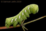 Eumorpha achemon - Green Phase Achemon Sphinx