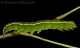 Panopoda rufimargo - Red-lined Panopoda