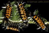 Euchaetes egle - Milkweed Tussock Caterpillar