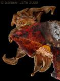 Phobetron pithecium - Monkey Slug