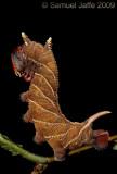 Ceratomia amyntor - Elm Sphinx