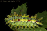 Euclea delphinii - Spiny Oak Slug Moth