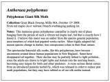 Polyphemus Silk Moth Essay