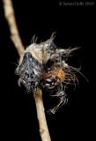 Harrisimemna trisignata - Harris's Three Spot