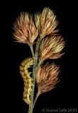 Heliothis virescens - Tobbaco Budworm