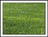 Water Hyacinth 2