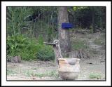 Backyard Raccoon 1