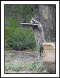 Backyard Raccoon 2