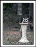 Backyard Raccoon 3