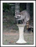 Backyard Raccoon 4