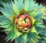 Euphorbia*