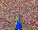 * peacock*by david cohen